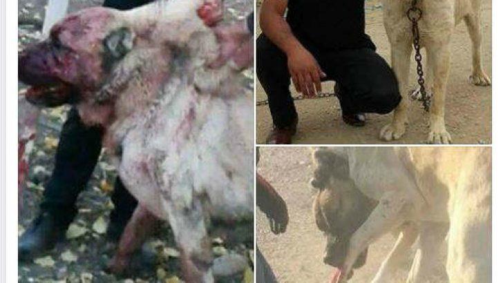 Malatya'da Köpek Dövüşü Yaptıran Şahısa, Sosyal Medyadan Tepki Çığ Gibi
