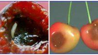 Kiraz Sineği ve Mücadelesi Kimyasal Mücadelede İlaçlar