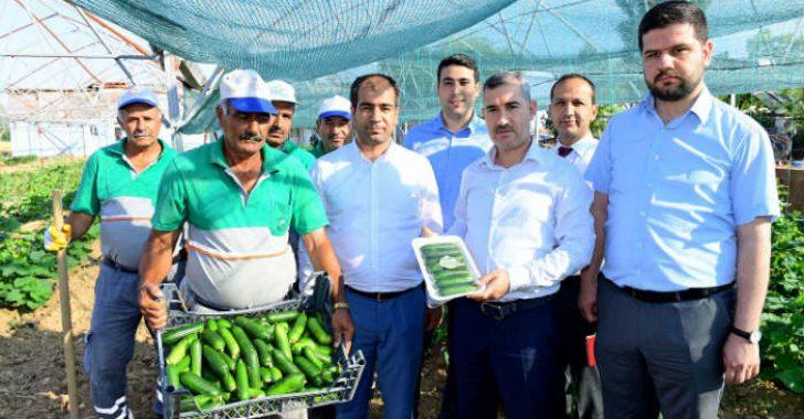 Yeşil Gıda Seracılık Alanında ki 100'de 100 Doğal Ürünlerin Hasadı Başladı.