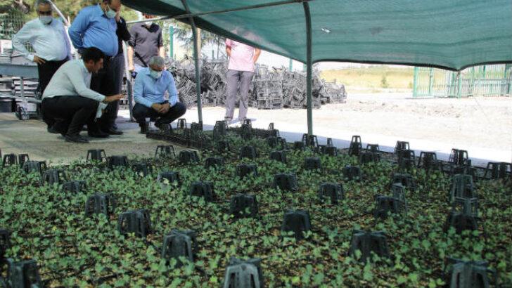 Battalgazi Belediyesi,Özel sera alanında 'Süs Lahanası' üretimine başladı