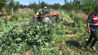 Malatya Yeşilyurt İlçesi Dilek Mahallesinde 100 bin kök haşhaş bitkisi ele geçirildi