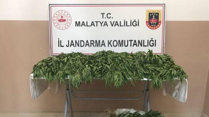 Malatya İl Jandarma Komutanlığı ekiplerince yapılan istihbari çalışmalar neticesinde; (31.750) kök hint keneviri ele geçirilmiştir